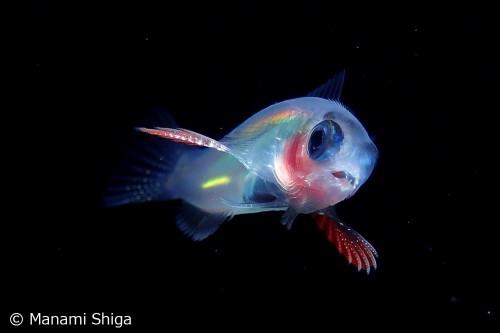 イソギンポ科の稚魚