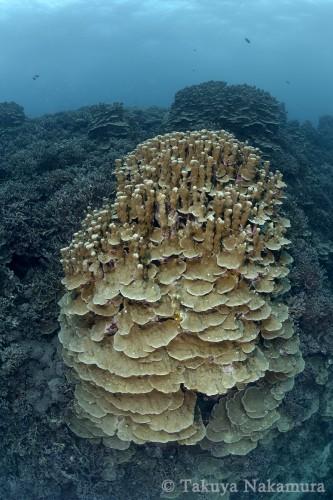 ウエディングケーキのように積み重なったパラオハマサンゴの群体