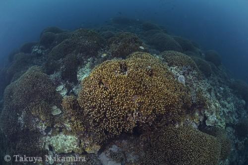 塊状のアオサンゴが密集する「中ノ瀬」
