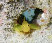 次の記事: 奄美大島南部で、イレズミミジンベニハゼが2個体登場中!