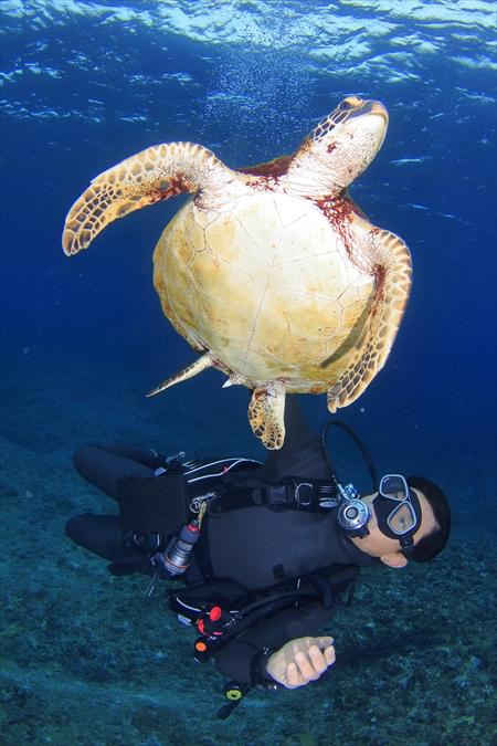 この子はモジャ美と呼ばれている、別のポイントに生息している小さいアオウミガメ。こちらもかなり慣れてそうだ
