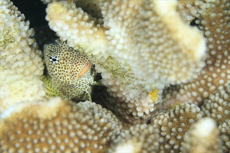 サンゴに産みつけた卵を守るセダカギンポ