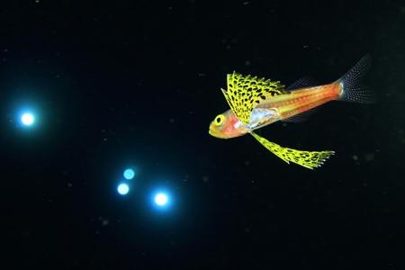 日本では今のところ珍しいクダリボウズギス属の一種の稚魚