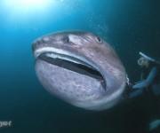 次の記事: メガマウスは幻の深海ザメではない⁉ ~メディア狂騒の裏側~