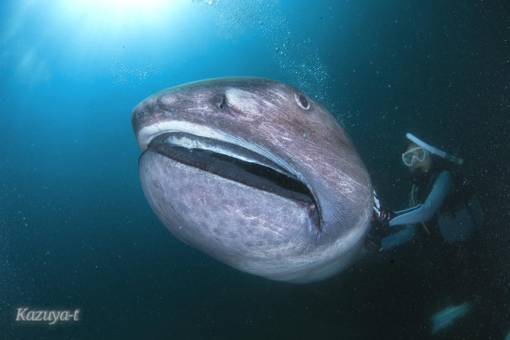 メガマウスは幻の深海ザメではない⁉ ~メディア狂騒の裏側~