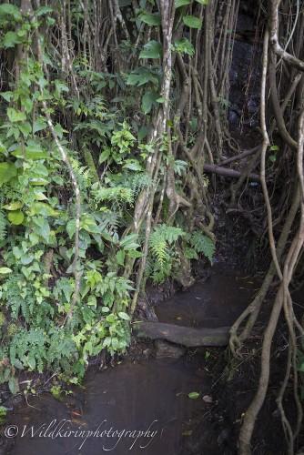 あまりの大きさにこのバンヤンツリーからなる小川