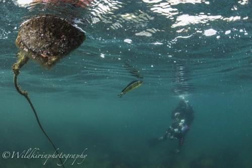 シイラの幼魚(写真/関戸紀倫)