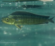 前の記事: ダイビング中に、シイラの幼魚を発見! ~石橋ダイビングセンタ
