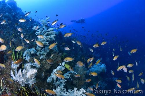 潮の当たる側面にはたくさんの生えものが茂りスズメダイが乱舞している