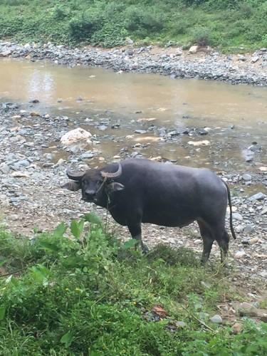 フィリピンのケーブには牛がつきもののようです……。