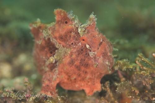 よく動くこのイロカエルアンコウはテーブル珊瑚があるペットボトル付近をウロウロしている