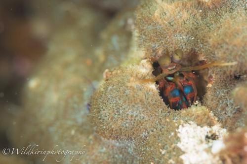 サンゴに穴を開けて入っていたモンハナシャコ