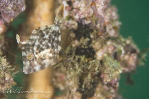 クリスマスツリーの周りやガイドロープ、海藻に混ざって隠れているアミメハギなどの幼魚が多く見られた