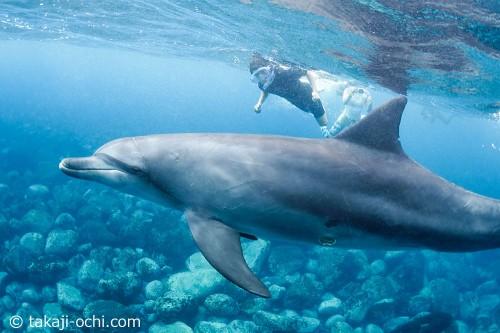 イルカが近い距離にいますね! 御蔵島ドルフィンスイムは、子どもも参加することができます。
