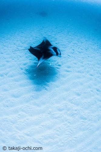 「ヨナラ水道」の砂地を優雅に泳ぐマンタ