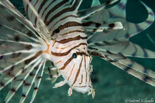 ミノカサゴはさまざまなサイズが数個体住み着いている