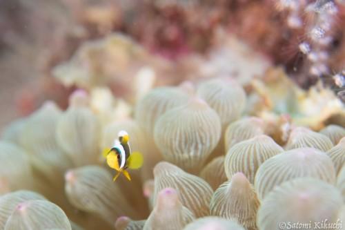 根から1mくらいのところには、クマノミの幼魚が2個体。 水深も6mほどなので、じっくり観察できる
