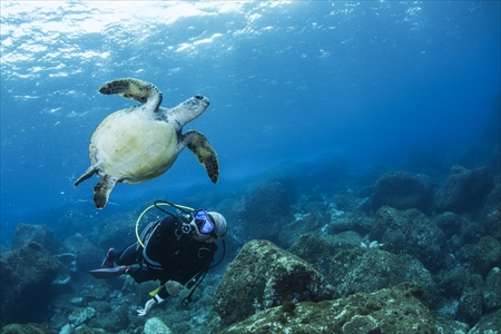 八丈島のシンボル、アオウミガメと大接近! ビーチポイントで もよく見られ、ダイバーにも比較的慣れている