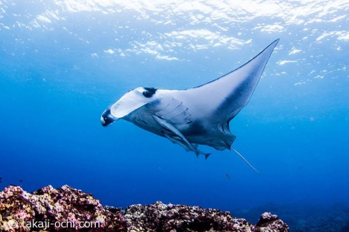 サンゴのがれ場の上を泳ぐマンタ。「マンタスクランブル」