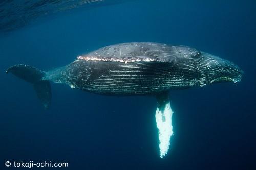 奄美大島のザトウクジラ(撮影:越智隆治)