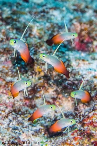 構図的にも気に入ってる、ハタタテハゼ7匹が写っている写真。1番下の個体は、巣穴から出てきてる瞬間