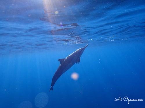 ハワイ島のイルカ(撮影:小笠原愛)