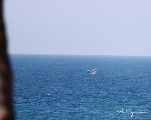ハワイ島のクジラ(撮影:小笠原愛)