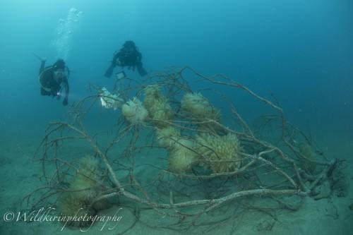 黄金崎のアオリイカの産卵床(撮影:関戸 紀倫)