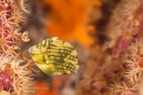 黄金崎のアオサハギの幼魚(撮影:関戸 紀倫)
