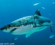 次の記事: 毎ダイブホホジロザメに遭遇で、参加者全員大興奮!〜ホホジロザ
