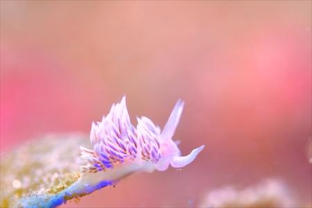 いたるところで見つかるサクラミノウミウシ
