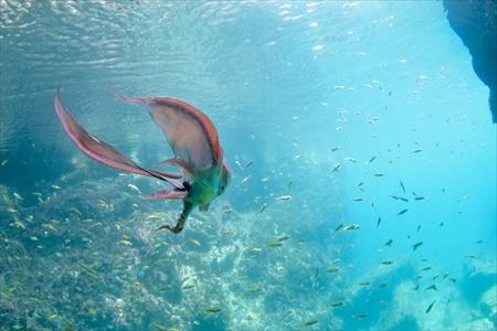 わずかに残ったマントを広げて優雅に泳ぐムラサキダコ