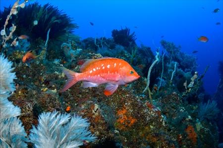 日本海では一際カラフルなサクラダイのオス