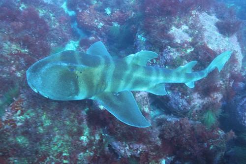 稲取のネコザメ(撮影:むらいさち)