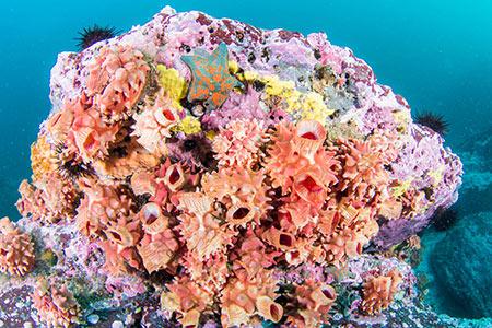 ピンク色の岩礁には、たくさんのマボヤが付着して華やかだ