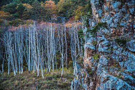 立ち枯れた木々の林