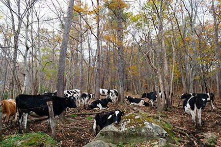 ハイジの世界を期待して行ったが牛たちは林の中で休息中だった