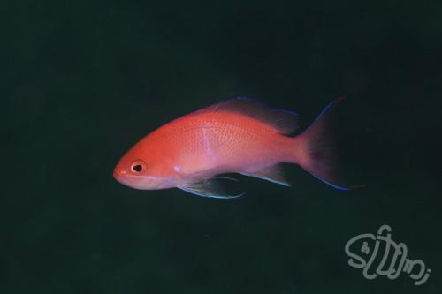 漁礁には鮮やかなアカオビハナダイの群れも混じっている。