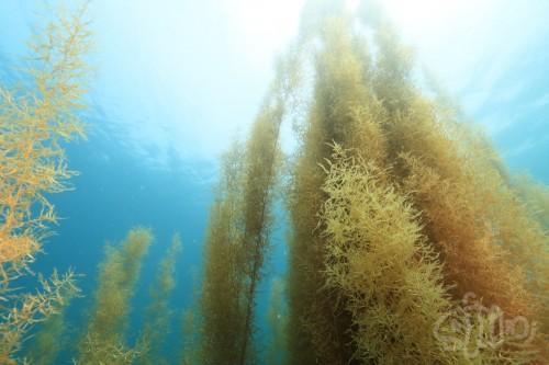 海底から太陽に向けて伸びるマメタワラ
