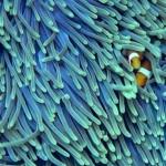 clownfish-718x314