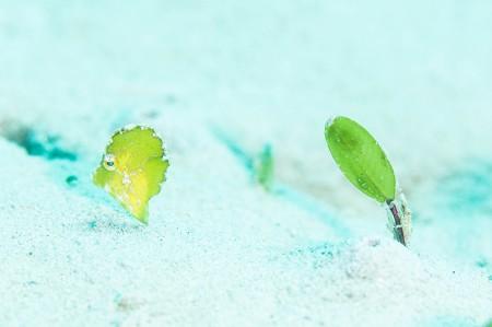 海草に擬態するセダカカワハギ