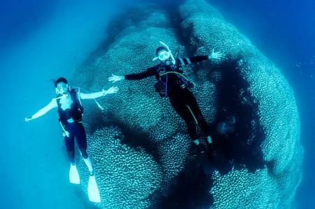 奄美大島最大級のコモンシコロサンゴ