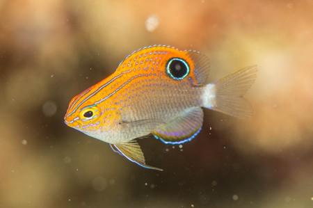 「キリスト浜」で出会ったクロメガネスズメダイの幼魚
