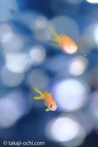 石垣島のキンギョハナダイ幼魚(撮影:越智 隆治)
