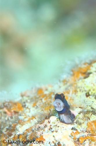 石垣島のイシガキカエルウオ(撮影:越智 隆治)