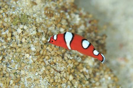 ツユベラの幼魚。白模様は子ども特有