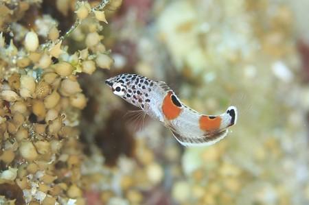 成魚からは想像できないオシャレさを放つカンムリベラの幼魚
