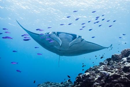 ダイバーにとって、石垣島の代名詞ともいえるマンタ。その遭遇率の高さは日本有数!