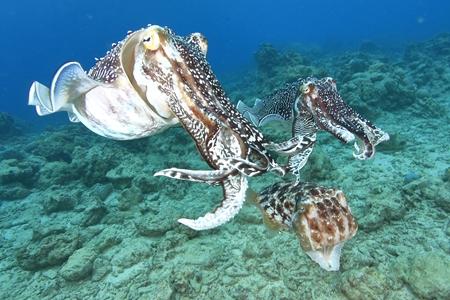 交尾や産卵に集まってきたコブシメは、警戒心が薄れるため近寄りやすくなり、迫力満点