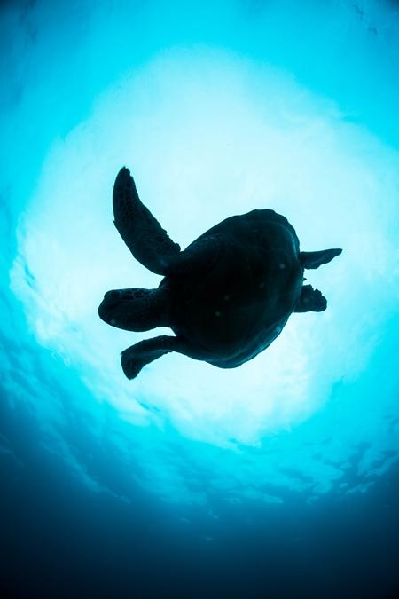 ポイントによってはダイバー慣れしたウミガメが生息しているので、目の前まで近寄っても気にしない個体も少なくはない